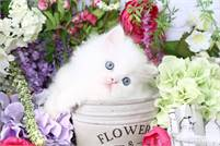 Doll Face Persian Kittens Tegan or Trisha Johnson