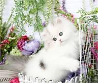 Doll Face Persian Kittens Tegan or Trisha Johnson
